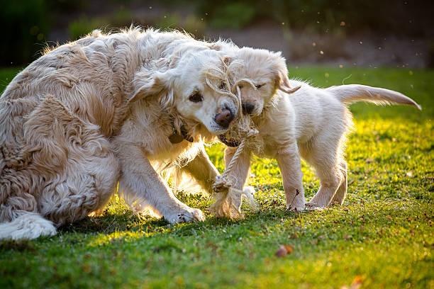 Dogs playing tug