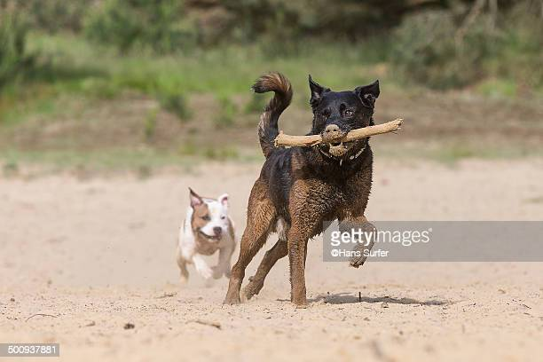 Dogs playing with one stick.