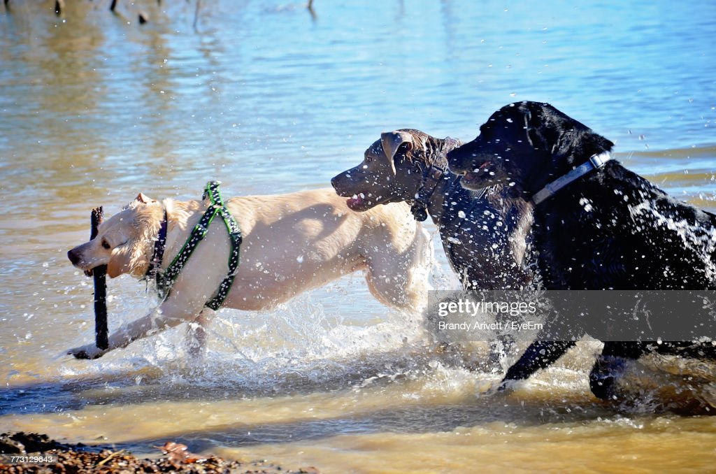 Dogs Playing With Stick In Lake : Photo
