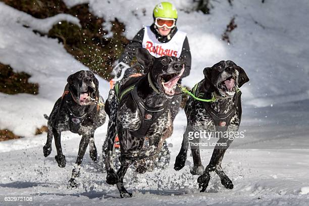 Dogs pull a competitor's sled during the 2017 International Dog Sled Races on January 28 2017 in Todtmoos Germany Over 100 mushers are competing in...