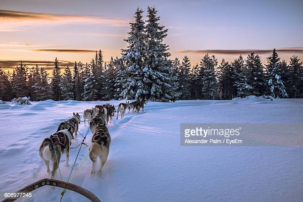 dogs pulling sled on snow covered field against sky during sunset - dog sledding stock photos and pictures