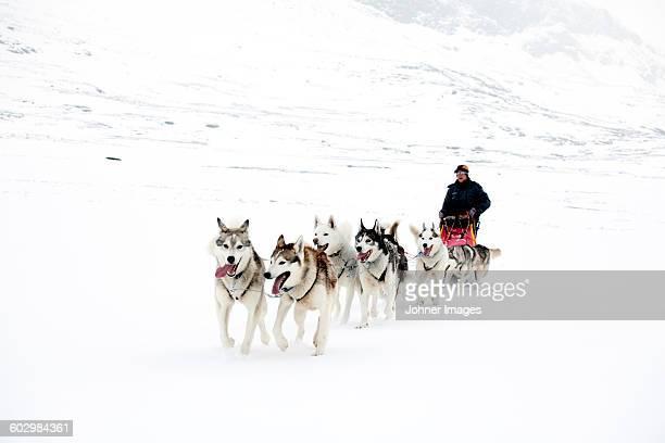 dogs pulling sleigh - シベリアンハスキー ストックフォトと画像