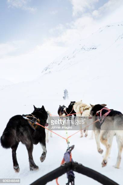 dogs pulling sleigh - winter sport stock pictures, royalty-free photos & images