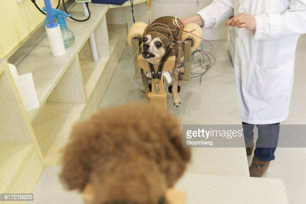 Dogs receive electroacupuncture treatment at the GuoGuo TCM Neurology and Acupuncture Animal Health Center in Shanghai China on Saturday Feb 10 2018...