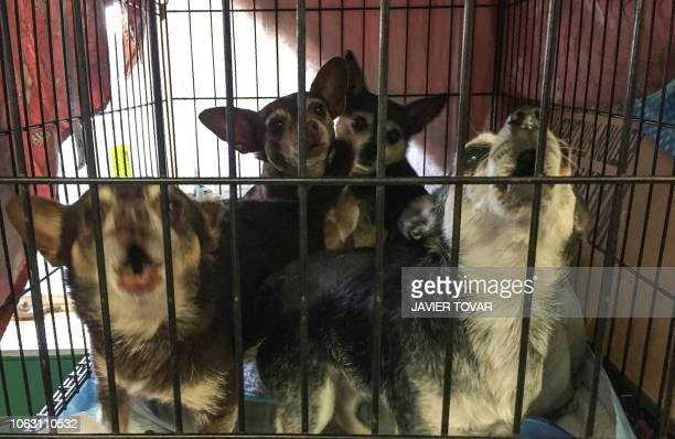 Dogs rescued from the fire are safe in the Oroville shelter south of Paradise California on November 16 2018 Pets are entrusted to 3 shelters set up...