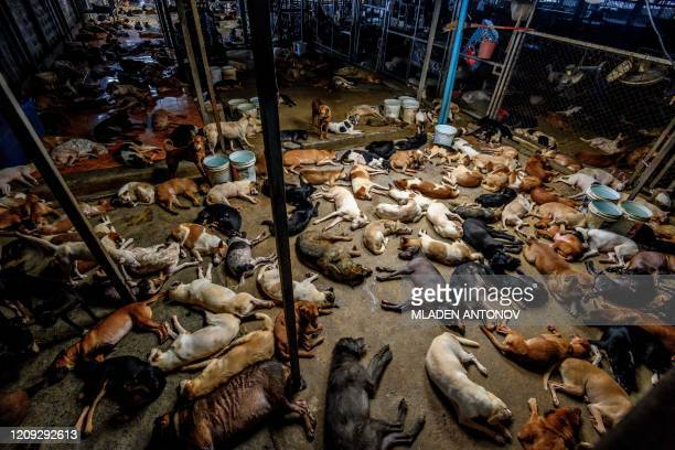Dogs rest in a crowded enclosure at Auntie Ju's shelter for stray dogs on the outskirts of Bangkok on April 6 where some 1500 canines rescued from...