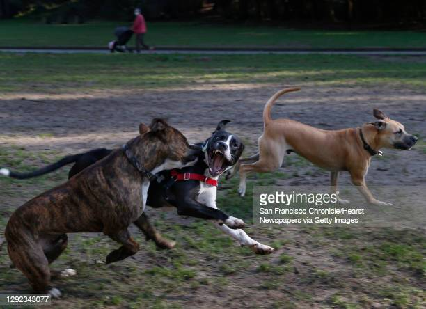 Dogs run free and have fun at the Stern Grove off-leash dog park in San Francisco, Calif. On Thursday, Dec. 17, 2020. Dog ownership has increased in...