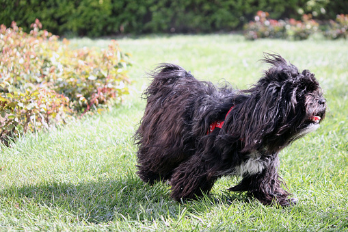 dogs running freely on the green lawn in the garden 1219411676