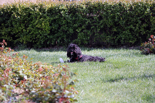 dogs running freely on the green lawn in the garden 1219411695