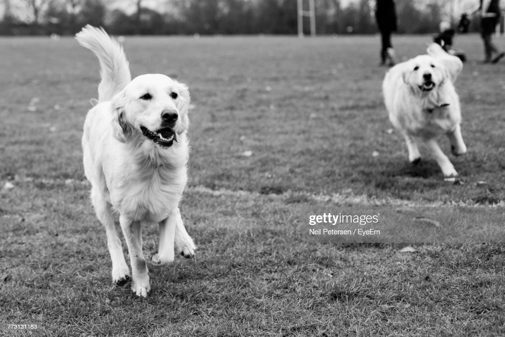 Dogs Running On Grassy Field : Photo