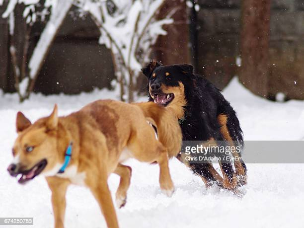 dogs running on snow covered field - adamo photos et images de collection