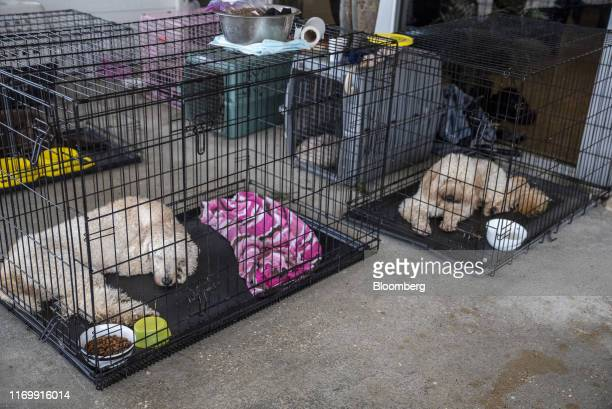 Dogs sit in kennels at First Baptist Church following Tropical Storm Imelda in Hamshire Texas US on Friday Sept 20 2019 The remnants of Tropical...