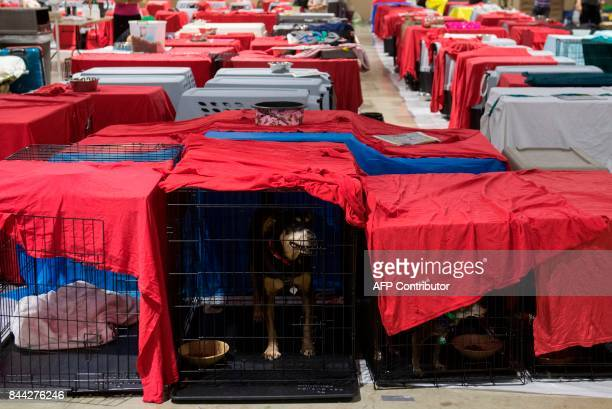 Dogs sit inside their cages as hundreds of people gather in a petfriendly emergency shelter at the MiamiDade County Fair Expo Center in Miami Florida...