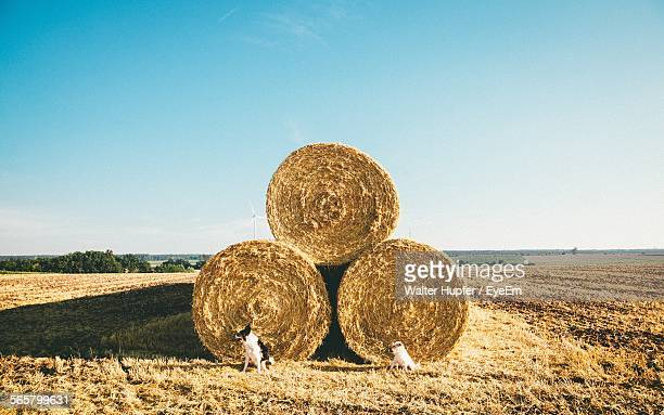 Dogs Sitting By Rolls Of Hay Against Clear Sky