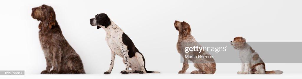Dogs sitting in ascending order : Bildbanksbilder