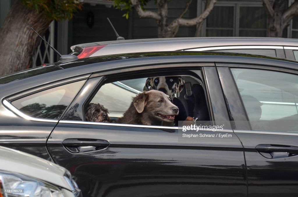 Dogs Sitting In Car : Photo