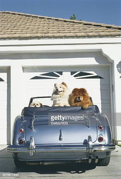 Dogs Sitting in Sports Car