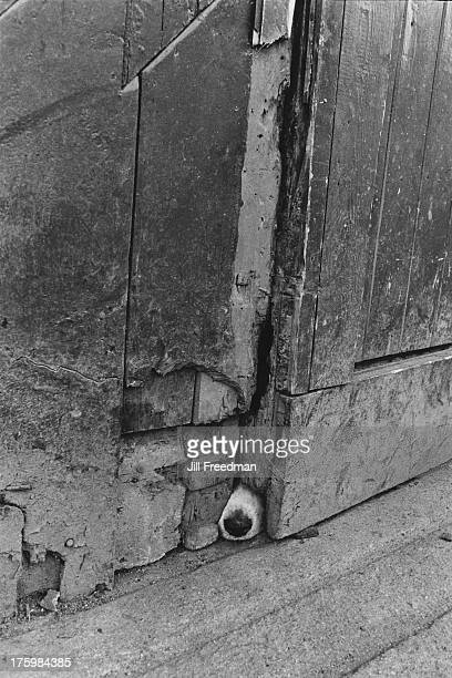 A dog's snout pokes out through a hole in a door in Listowel County Kerry Ireland 1974