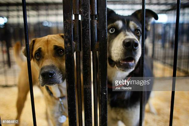 Dogs stand in a cage after being dropped off at the animal shelter at the Animal Health Technology Center at Kirkwood Community College June 22, 2008...