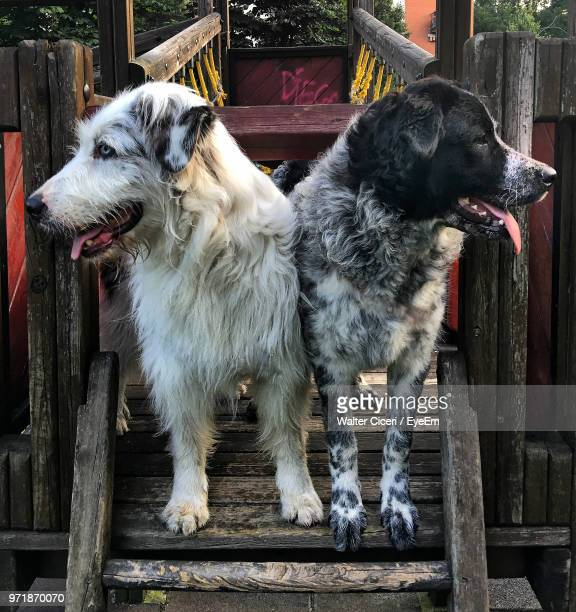 dogs standing on wood - walter ciceri foto e immagini stock