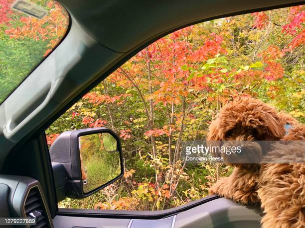 dog's summer vacation    toy golden doodle - goldendoodle stock-fotos und bilder