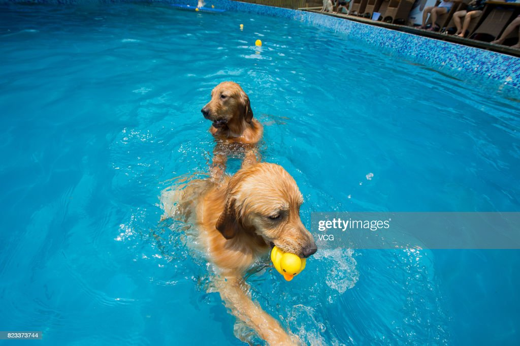 Dogs Swim In Swimming Pool On July 26