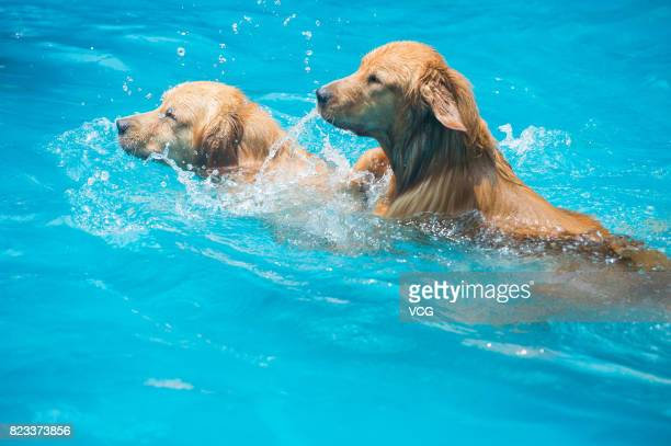 Dogs swim in swimming pool on July 26 2017 in Chengdu Sichuan Province of China 4 swimming pools have been opened to dogs in Chengdu some of which...