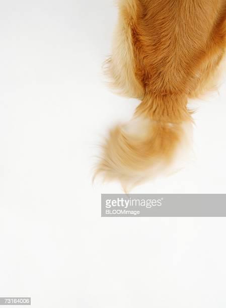 Dog's tail.close-up