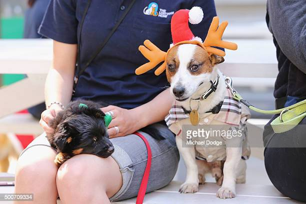 Dogs take a rest from the catwalk at QV Square during the Festive Best Dressed Dog Competition for The Lost Dogs' Home charity screening of 'Best in...