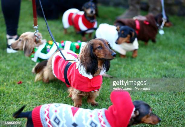 Dogs taking part in a sausage dog festive walk in Hyde Park, London. PA Photo. Picture date: Sunday December 15, 2019. Photo credit should read:...