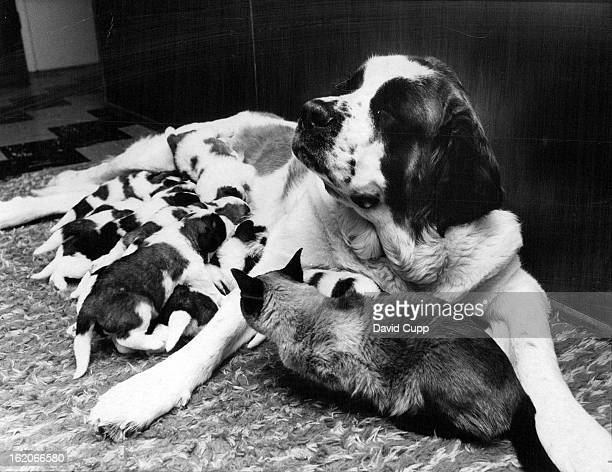 NOV 27 1969 Dogs Thanksgiving Dinner Was in Shifts Tuckette's 11 puppies had to take their Thanksgiving dinner at separate times while Siam an...