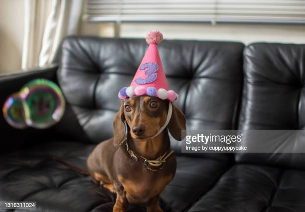 dogs third birthday - number 3 stock pictures, royalty-free photos & images