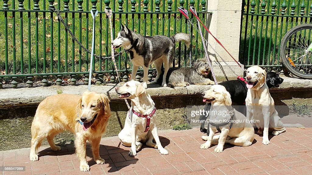 Dogs Tied On Fence At Footpath : Stock Photo