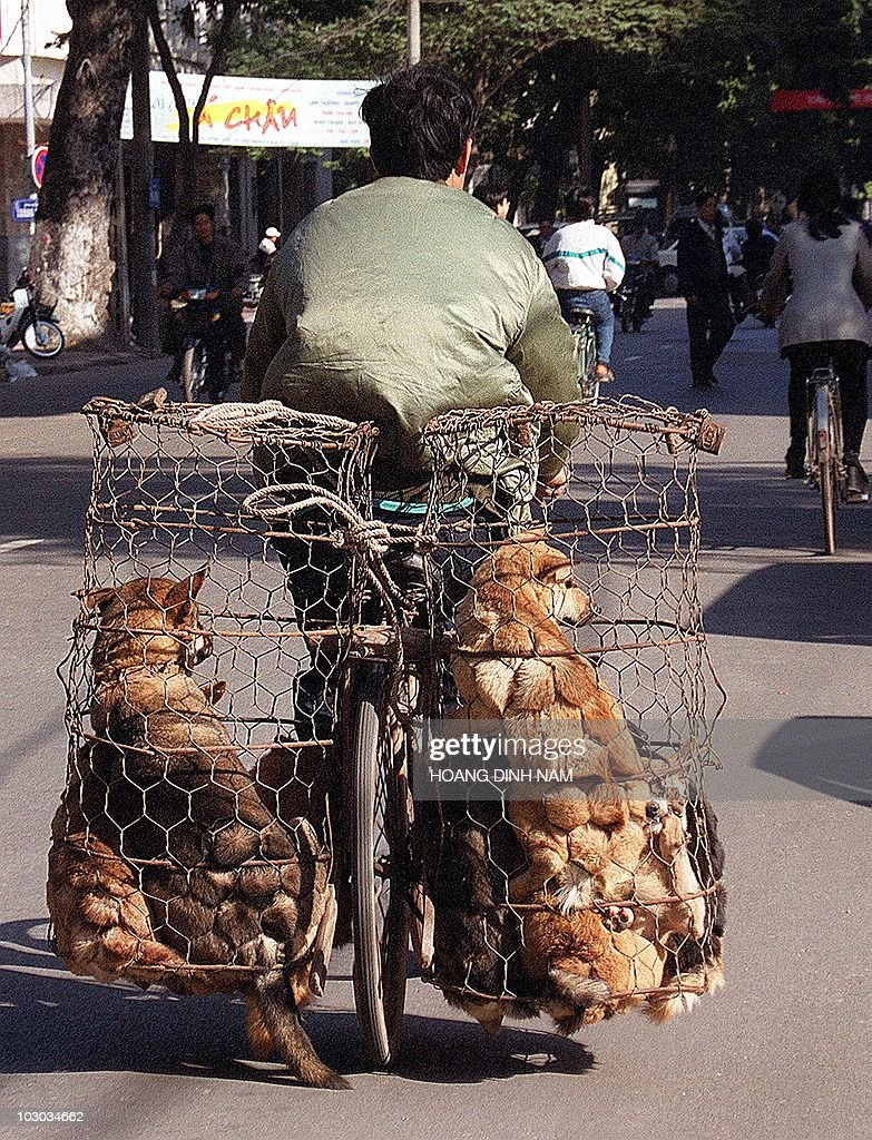A dogs trader carries dogs in cages tied : ニュース写真