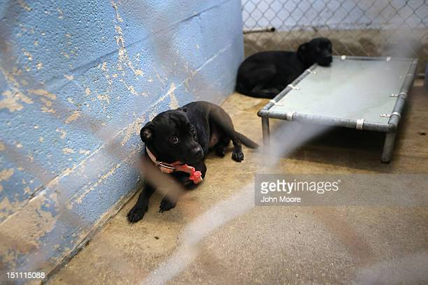 Dogs, traumatized when their owners house was flooded due to Hurricane Isaac, await transport from the Jefferson Parish Animal Shelter on September...