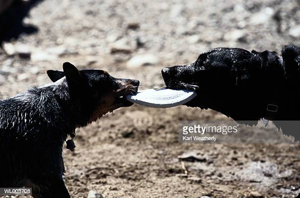 dogs tugging a plastic disc - dogs tug of war stock pictures, royalty-free photos & images