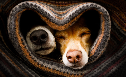 dogs under blanket together 1135489659