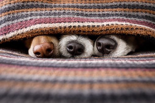 dogs under blanket together 897059612