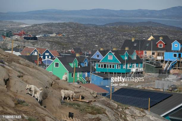 Dogs used for pulling dog sleds during the winter stand chained in a compound on the outskirts of town on August 03, 2019 in Ilulissat, Greenland. As...