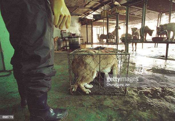 Dogs wait in cages at a dog slaughterhouse February 15 2002 in Dongam west of Seoul South Korea Recently a South Korean nutritionist who defends...