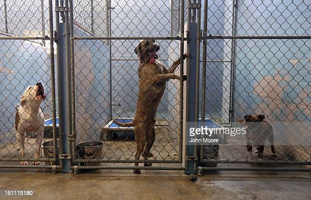 Dogs wait transport from the Jefferson Parish Animal Shelter on September 1 2012 on the outskirts of New Orleans Louisiana The animal shelter has...