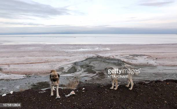 Dogs walk by the shore of the salt lake of Urmia in the northwest of Iran which had been shrinking in one of the worst ecological disasters of the...