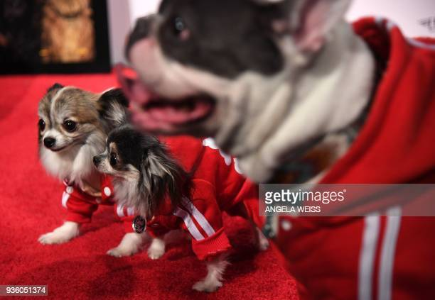 Dogs walk on the red carpet for the paw sprints special screening of 'Isle of Dogs' at IFC CENTER on March 21 2018 in New York City / AFP PHOTO /...