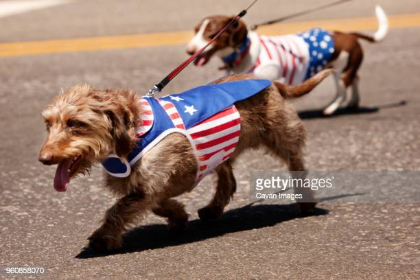 Dogs wearing American flag clothing while walking on street