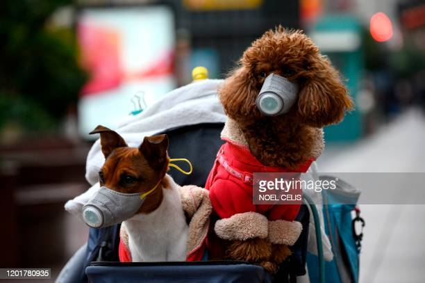 Dogs wearing masks are seen in a stroller in Shanghai on February 19 2020 The death toll from China's new coronavirus epidemic jumped past 2000 on...