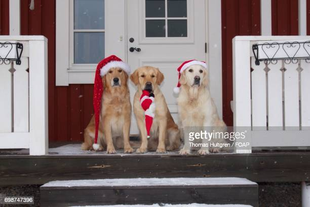 Dogs wearing santa hat