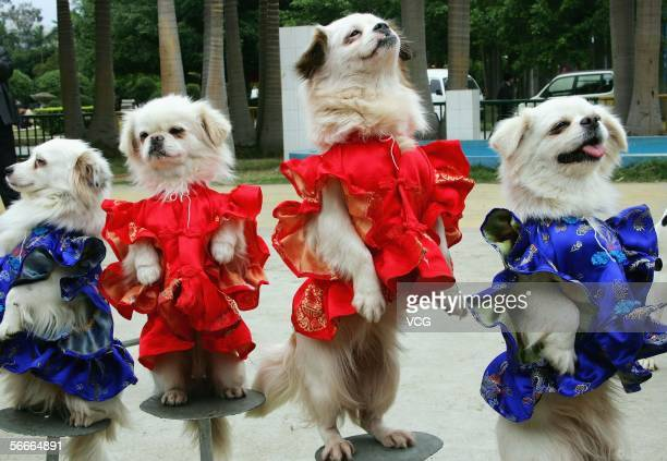 Dogs wearing the traditional Chinese style costume are pictured for a Lunar New Year photocall at a zoo on January 25 in Nanning Guangxi province...