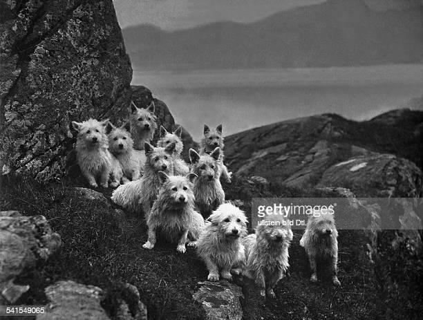 dogs West Highland White Terriers by Colonel Malcolm of Poltalloch Photographer C Reid undatedVintage property of ullstein bild