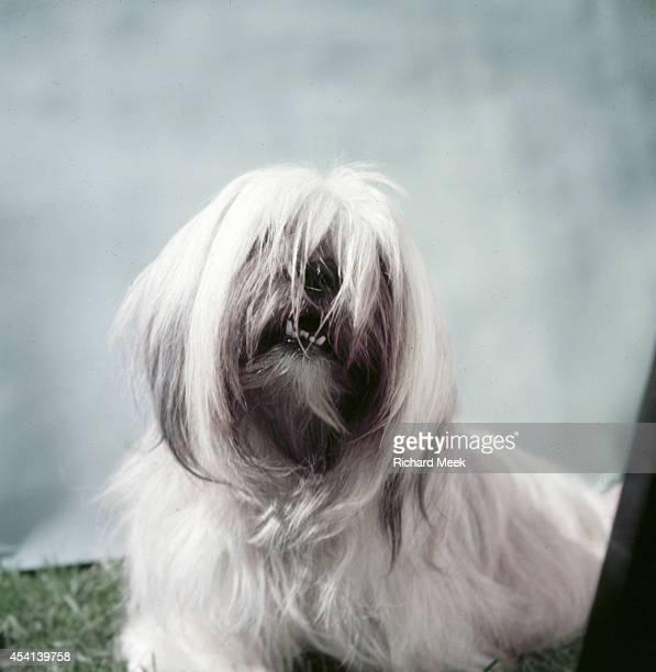 Westminster Kennel Club Dog Show: Portrait of Hamilton Samada, a Lhasa Apso at Madison Square Garden. New York, NY 9/14/1954 CREDIT: Richard Meek