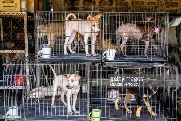 Dogs who have just arrived wait in cages before being introduced to the general population at Auntie Ju's shelter for stray dogs on the outskirts of...